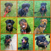 Some beauties from Rottie Rescue